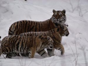 Siberian Tigers (Panthera Tigris Altaica) in the Snow by Michael Nichols