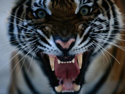 Snarling Tiger by Michael Nichols