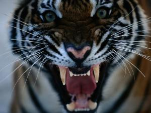 Snarling Tiger by Michael Nichols