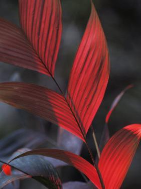 Sunlight Illuminates the Red Leaves of a Plant in Ecuador by Michael Nichols