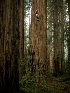 The Patriarch Grove Has the Largest Volume of Redwood Trees by Michael Nichols