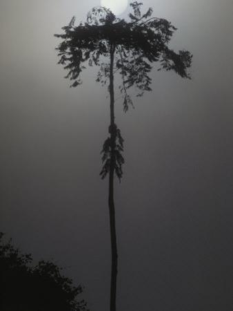 The Sun Rises Above a Tree in a Fog-Enshrouded Suriname Forest, Suriname by Michael Nichols