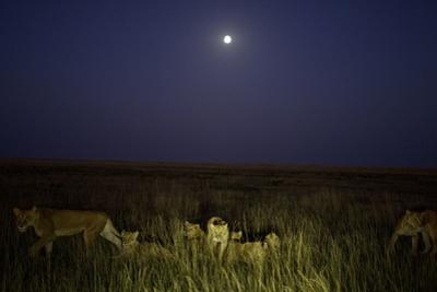 The Vumbi Lion Pride at Dawn by Michael Nichols