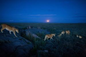 The Vumbi Pride Sets Out on the Evening Hunt by Michael Nichols