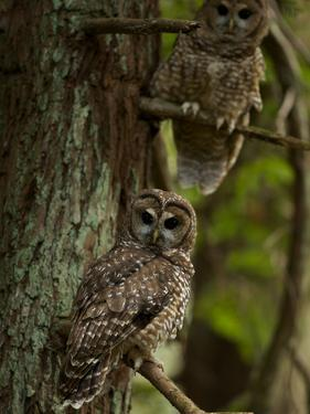 Threatened Northern Spotted Owls in a Redwood Forest by Michael Nichols