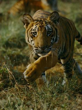 Tiger in an Enclosure at Madhav National Park by Michael Nichols