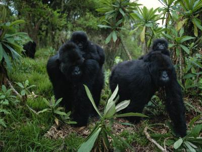 Two Mother Gorillas Carrying Their Children on Their Backs, Virunga National Park, Rwanda by Michael Nichols