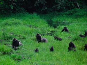 Western Lowland Gorillas Foraging in the Bai by Michael Nichols