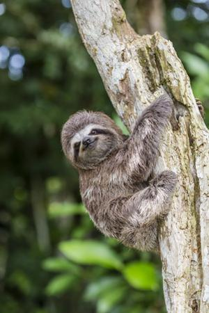 A captive pet brown-throated sloth (Bradypus variegatus), San Francisco Village, Loreto, Peru by Michael Nolan