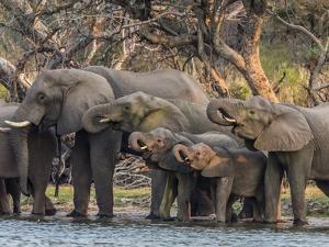 A herd of African bush elephants (Loxodonta africana) on the upper Zambezi River, Zambia by Michael Nolan