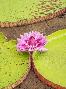 A large group of Victoria water lily (Victoria amazonica), on Rio El Dorado, Nauta, Peru by Michael Nolan
