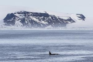 A Pod of Big Type B Killer Whales (Orcinus Orca) in Antarctic Sound by Michael Nolan