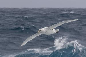 A Rare White Morph of the Southern Giant Petrel (Macronectes Giganteus), English Strait, Antarctica by Michael Nolan