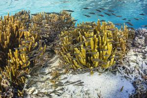 A school of striped catfish on Sebayur Island, Komodo Nat'l Park, Flores Sea, Indonesia by Michael Nolan
