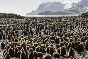 Adult and Juvenile King Penguins (Aptenodytes Patagonicus) by Michael Nolan