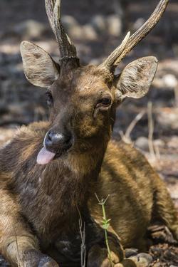 Adult Buck Timor Rusa Deer (Cervus Timorensis), Komodo National Park, Komodo Island, Indonesia by Michael Nolan