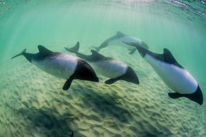 Adult Commerson's Dolphins (Cephalorhynchus Commersonii) by Michael Nolan