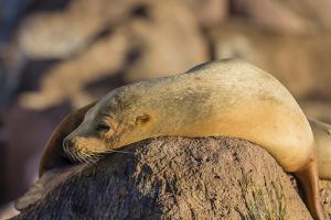 Adult Female California Sea Lion (Zalophus Californianus), at Los Islotes, Baja California Sur by Michael Nolan