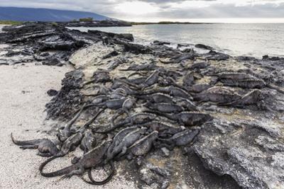 Adult Galapagos Marine Iguanas (Amblyrhynchus Cristatus) Basking by Michael Nolan