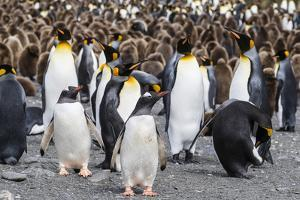 Adult gentoo penguins on the beach with king penguins at Gold Harbor, South Georgia Island by Michael Nolan