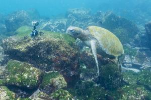 Adult Green Sea Turtle (Chelonia Mydas) Underwater Near Camera by Michael Nolan