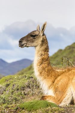 Adult Guanacos (Lama Guanicoe), Torres Del Paine National Park, Patagonia, Chile, South America by Michael Nolan