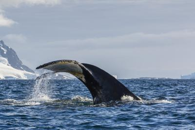 Adult Humpback Whale (Megaptera Novaeangliae), Flukes-Up Dive in Orne Harbor, Antarctica by Michael Nolan