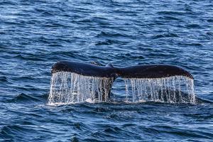 Adult Humpback Whale (Megaptera Novaeangliae) Flukes-Up Dive by Michael Nolan