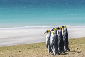 Adult king penguins (Aptenodytes patagonicus) on the grassy slopes of Saunders Island, Falkland Isl by Michael Nolan