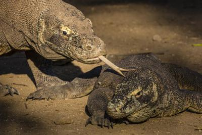 Adult Komodo dragon smelling another dragon with its tongue on Rinca Island, Flores Sea, Indonesia by Michael Nolan