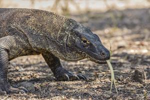 Adult Komodo Dragon (Varanus Komodoensis), in Komodo National Park, Komodo Island, Indonesia by Michael Nolan