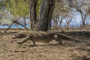 Adult Komodo Dragon (Varanus Komodoensis) in Komodo National Park, Komodo Island, Indonesia by Michael Nolan