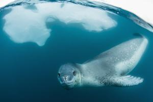Adult Leopard Seal (Hydrurga Leptonyx) Inspecting the Camera Above and Below Water at Damoy Point by Michael Nolan