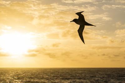 Adult Light-Mantled Sooty Albatross (Phoebetria Palpebrata) in Flight in the Drake Passage
