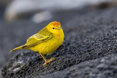 Adult Male Galapagos Yellow Warbler (Setophaga Petechia Aureola) at Puerto Egas by Michael Nolan