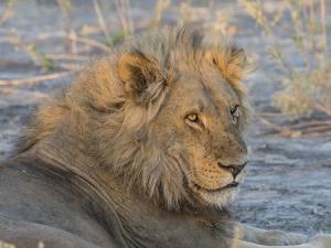 Adult male lion (Panthera leo), in the Okavango Delta, Botswana by Michael Nolan