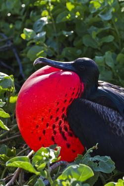 Adult Male Magnificent Frigatebird (Fregata Magnificens), Las Bachas, Santa Cruz Island, Ecuador by Michael Nolan