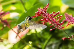Adult Male Xantus's Hummingbird (Hylocharis Xantusii), Todos Santos, Baja California Sur by Michael Nolan