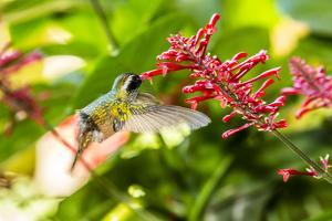 Adult Male Xantus's Hummingbird (Hylocharis Xantusii), Todos Santos, Baja California Sur by Michael Nolan