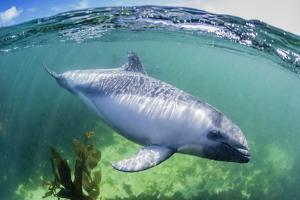 Adult Peale's Dolphin (Lagenorhynchus Australis) by Michael Nolan