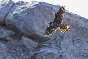 Adult Peregrine Falcon (Falco Peregrinus), Isla Rasa, Gulf of California, Baja California, Mexico by Michael Nolan