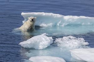 Adult Polar Bear (Ursus Maritimus) Emerging by Michael Nolan