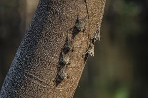 Adult proboscis bats (Rhynchonycteris naso) on tree in Yanallpa Ca?o, Ucayali River, Loreto, Peru by Michael Nolan