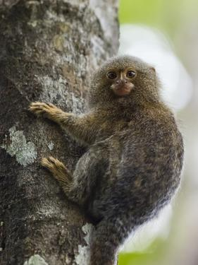 Adult pygmy marmoset (Cebuella pygmaea), Lake Clavero, Amazon Basin, Loreto, Peru by Michael Nolan