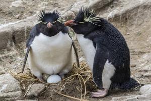 Adult Rockhopper Penguins (Eudyptes Chrysocome) at Nesting Site on New Island, Falkland Islands by Michael Nolan