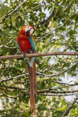Adult scarlet macaw (Ara macao), Amazon National Park, Loreto, Peru, South America by Michael Nolan