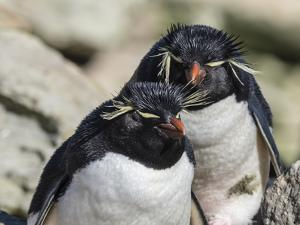 Adult southern rockhopper penguins (Eudyptes chrysocome) on New Island, Falkland Islands by Michael Nolan