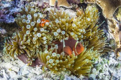 Adult spinecheek anemonefish , Sebayur Island, Komodo Nat'l Park, Flores Sea, Indonesia by Michael Nolan
