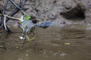 Adult Striated Heron Catching a Fish in Nauta Cao, Upper Amazon River Basin, Loreto, Peru by Michael Nolan