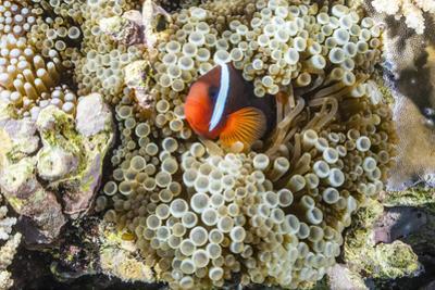 Adult tomato clownfish , Mengiatan Island, Komodo Nat'l Park, Flores Sea, Indonesia, Southeast Asia by Michael Nolan